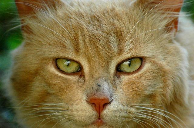 gatto viso